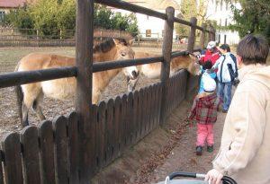Téma: Koně převalského v parku
