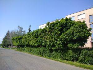 Otevřený dopis Radě proti kácení stromů v souvislosti se stavbou chodníku ve Švermově ulici