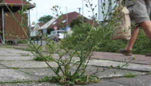 Téma: Spáry v chodnících a ulicích zarůstající plevelem