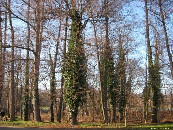 břečťanem porostlé stromy v Olšině