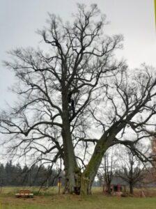 Lipecká lípa u Bradla je stará kolem 800 let